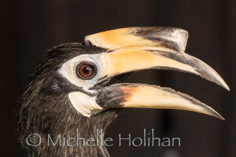 Oriental Pied Hornbill, Wildlife Alliance Release Station, Chi Phat, Cambodia