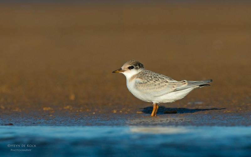 Little Tern, juv, Culbarra, NSW, Aus, Feb 2013-3.jpg