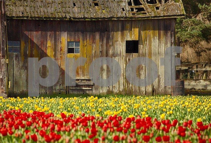 Tulips, Skagit 3529_HDR.jpg