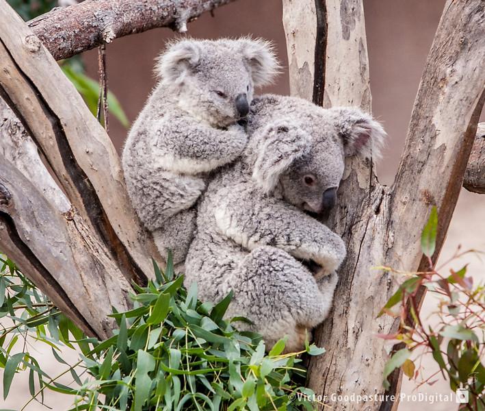 Koalafornia-3.jpg