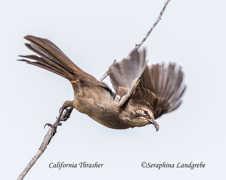 _DSC7382California Thrasher flight.jpg