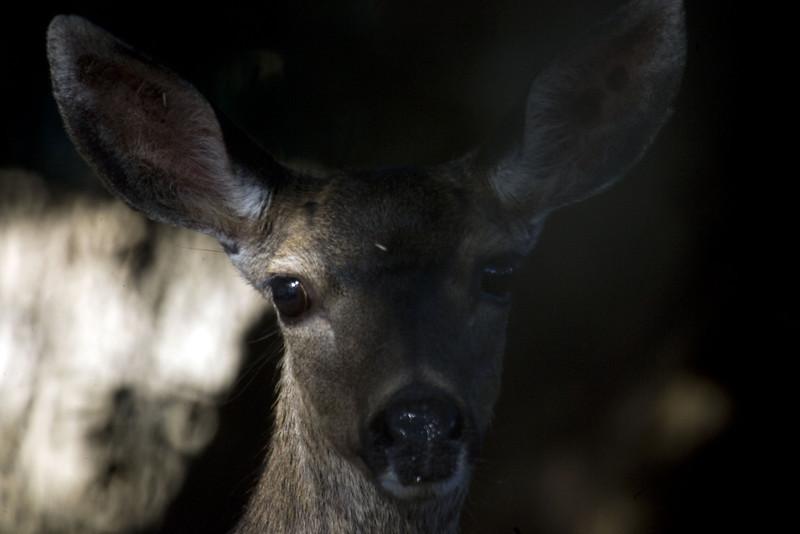 Blacktailed Deer, Point Reyes, 7/29