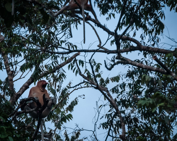 MONKEY - proboscis screaming at intruders-0495.jpg