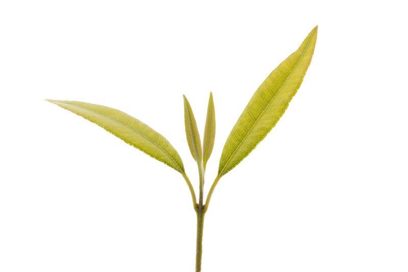 Lemon myrtle leaves 8p.jpg