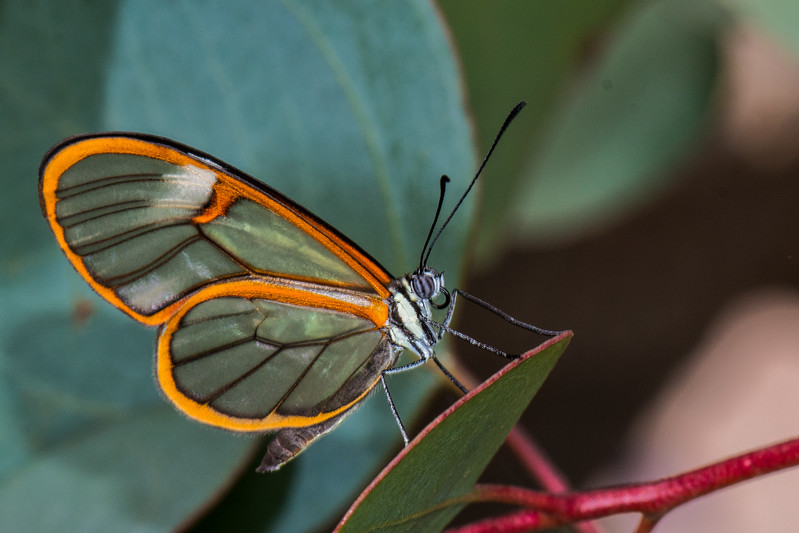 Glasswing Butterfly.jpg
