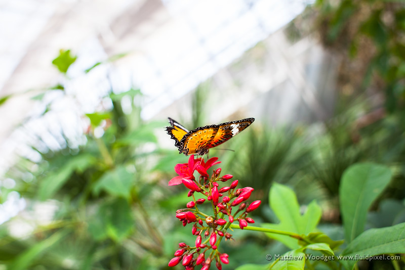 Woodget-140221-035--butterfly - Insect, flower - Plants, monarch.jpg