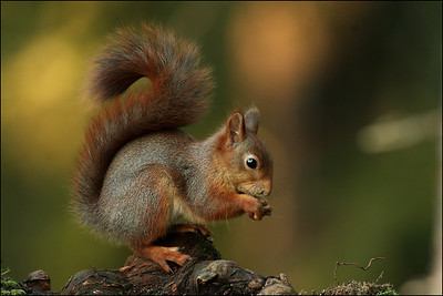 Ekorn - Red squirrel