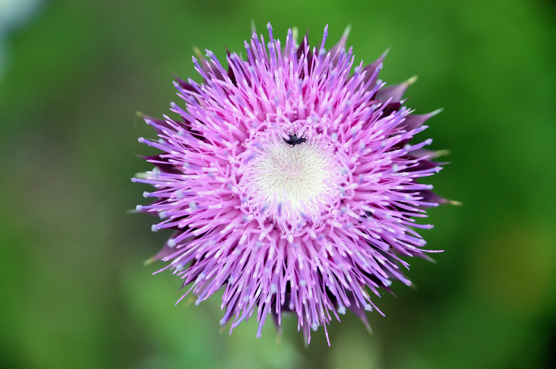 ThistlePurpleflower.jpg