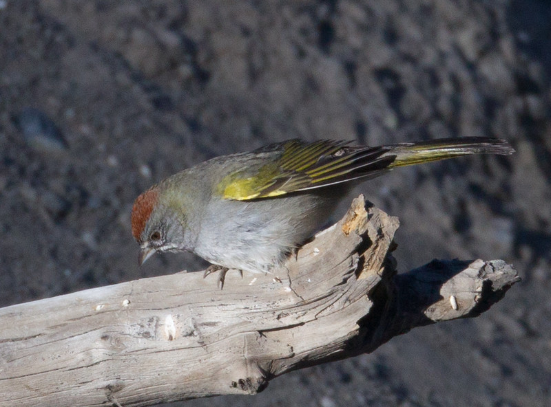 Green`tailed Tohee  Mammoth Lakes 2014 09 16 (1 of 2).CR2
