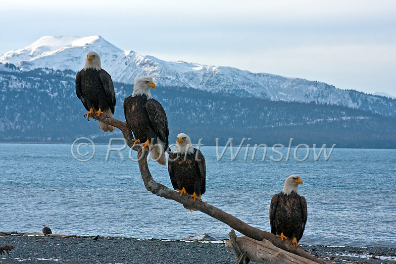 Four Bald Eagles, Haliaeetus leucocephalus, Kenai Peninsula, Alaska