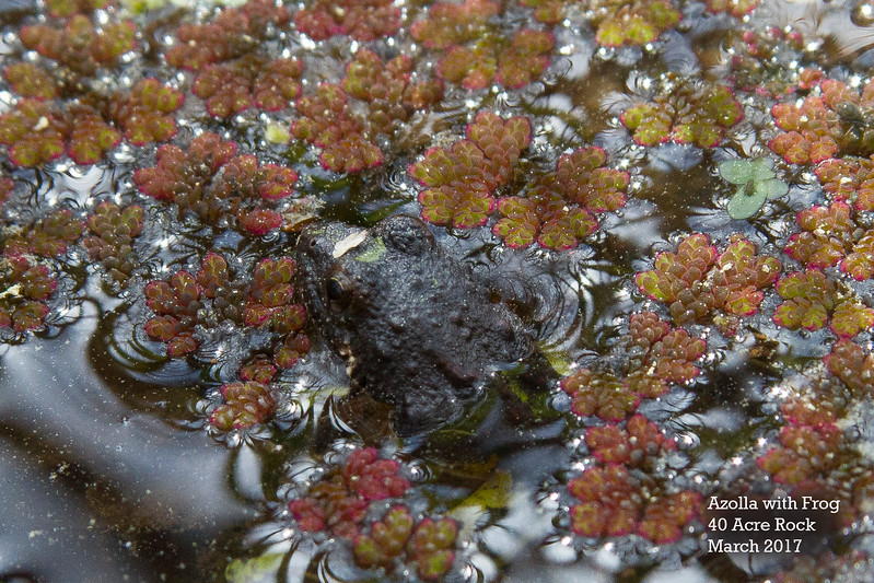 Azolla with Frog.jpg