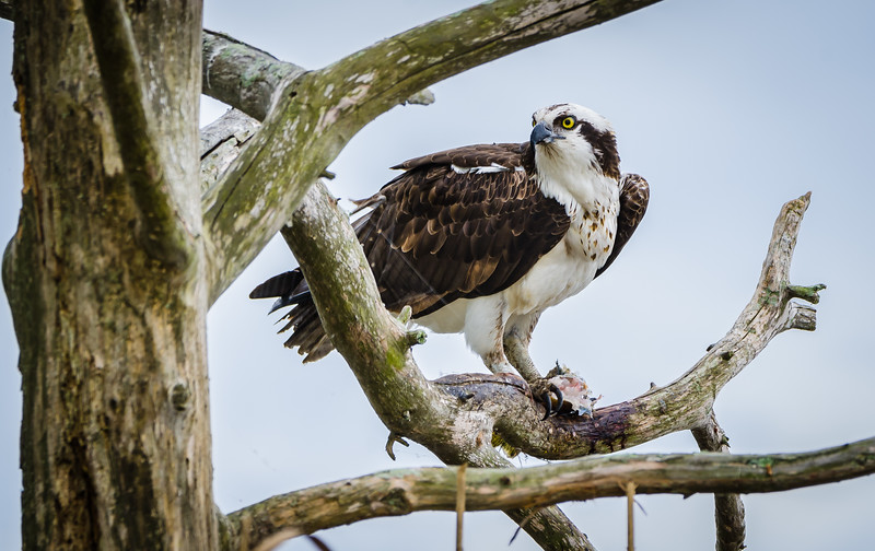 Osprey in tree 031917-4418.jpg