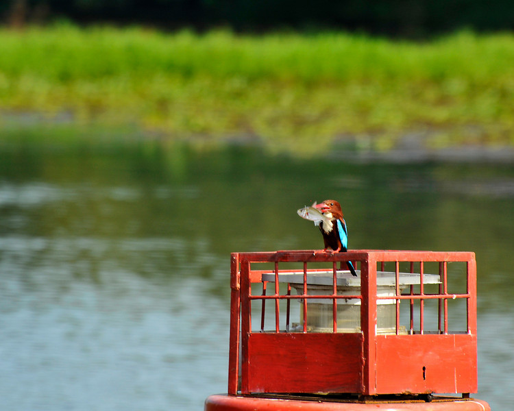 _DSC3988_kingfisher.jpg