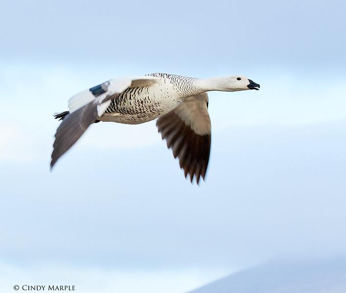 Upland Goose male