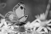 Gate Keeper - Pyronia tithonus (40)