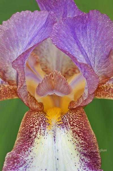 Bearded Iris Confetti