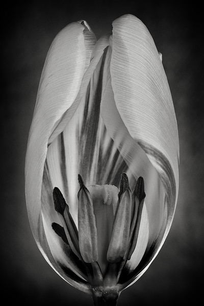 fuschia-and-white-flame-tulip-04-bw.jpg
