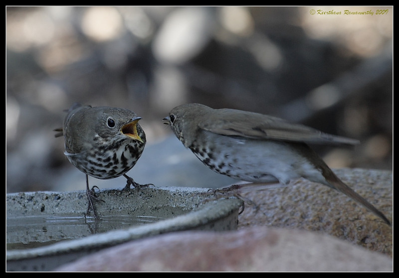 Hermit Thrushes yelling at each other, The Drip, Cabrillo National Monument, San Diego County, California, November 2009
