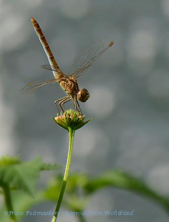 Purperlibel; Trithemis annulata; Violet dropwing; Violetmarked darter; Purpleblushed darter; Plumcoloured dropwing; Trithémis pourpré; Violetter Sonnenzeiger