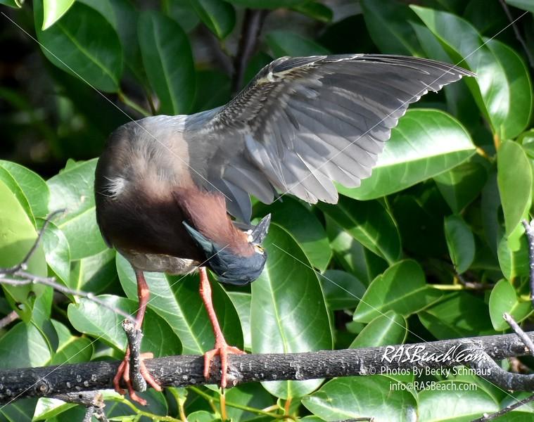 Green Heron in the Wakodahatchee Wetlands, Palm Beach