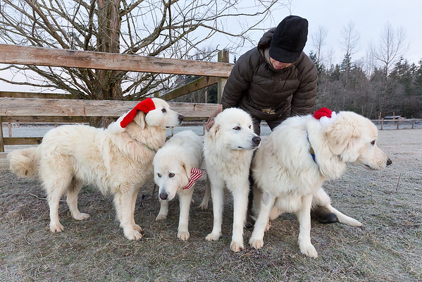 Four Maremma Sheepdogs dressed up for the holidays.