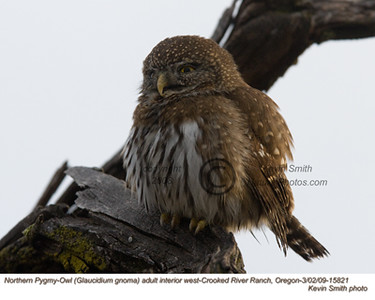 NorthernPygmyOwl15821.jpg