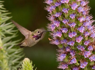 Calliope Hummingbird Selasphorus calliope