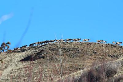 Wolf attacking Elk Herd