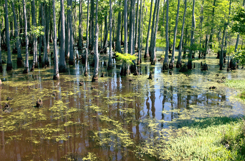 Alabama Swamp