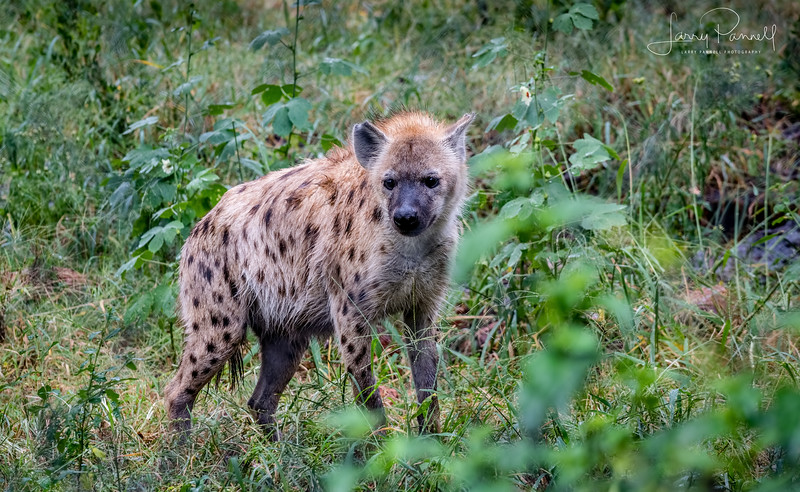 Spotted Hyena - South Africa