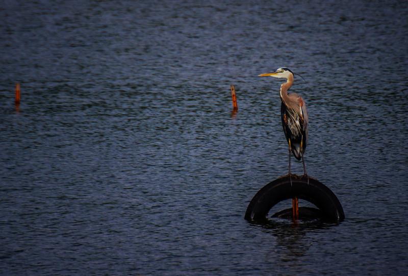 6.5.17 - Beaver Lake Fish Nursery: Great Blue Heron