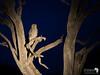 Eagle Owl at Night