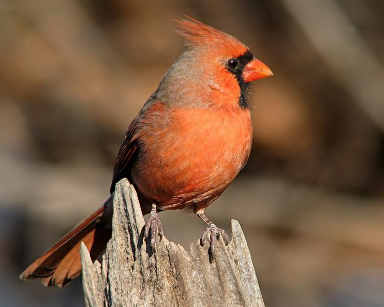 cardinal_4407.jpg