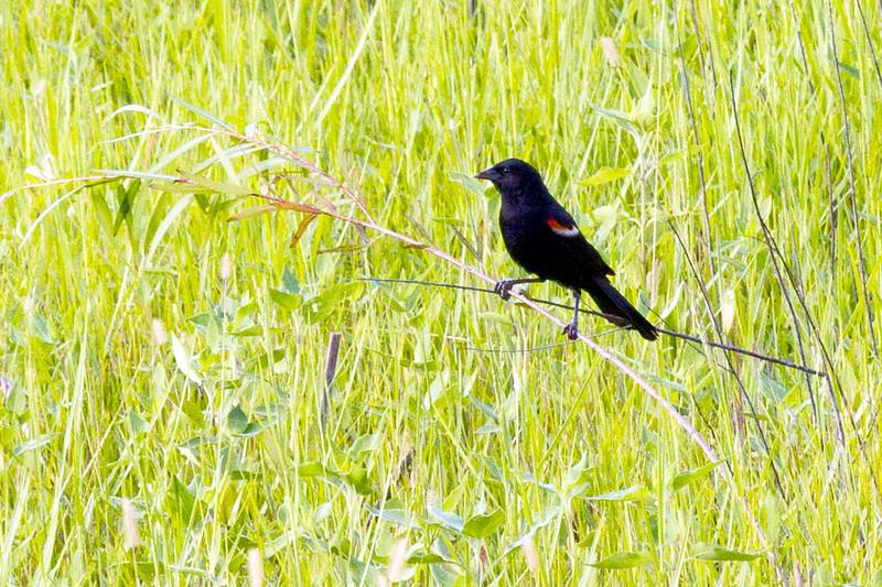 redwingblackbirdingreenery.jpg