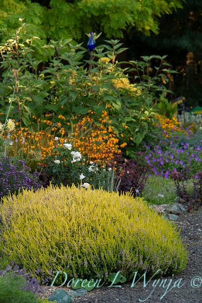 Erica x griffithsii 'Valerie Griffiths' cottage garden_0310.jpg