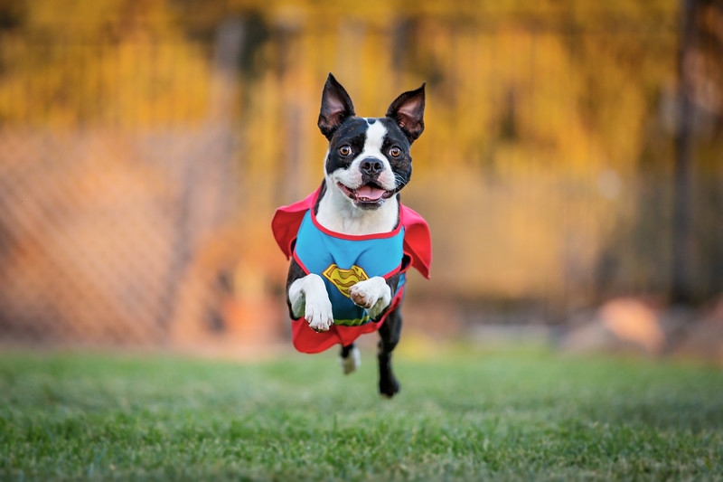 Boston Terrier Running in Costume