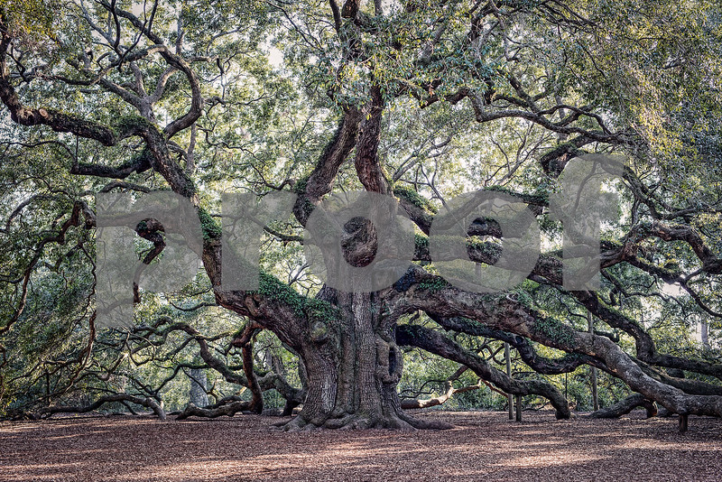 Angel Oak Tree Fine Art (3 of 3)-X3.jpg