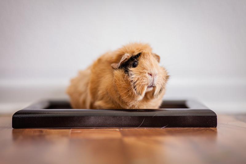 Ginea Pigs-28.jpg
