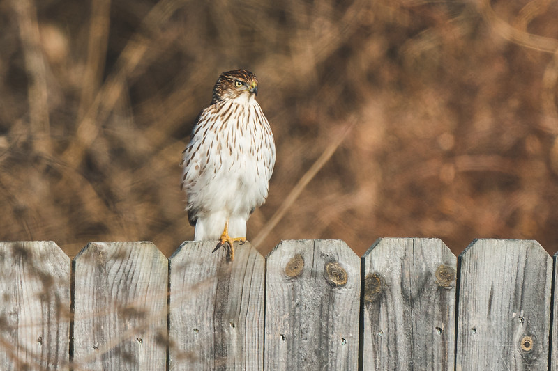 A Cooper's Hawk in my backyard on New Year's Day