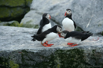 Communing with puffins