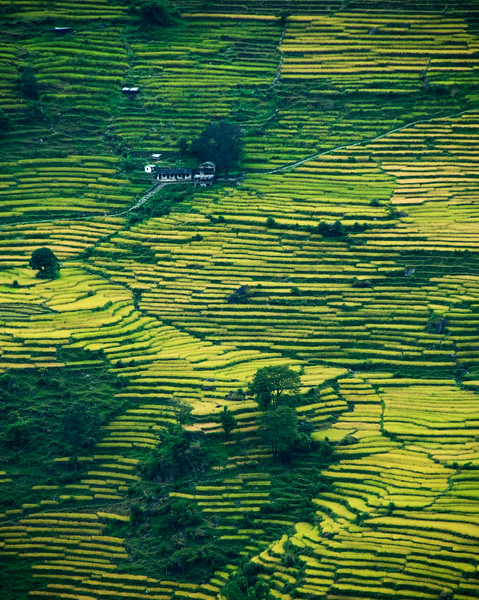 Rice Terraces, Nepal