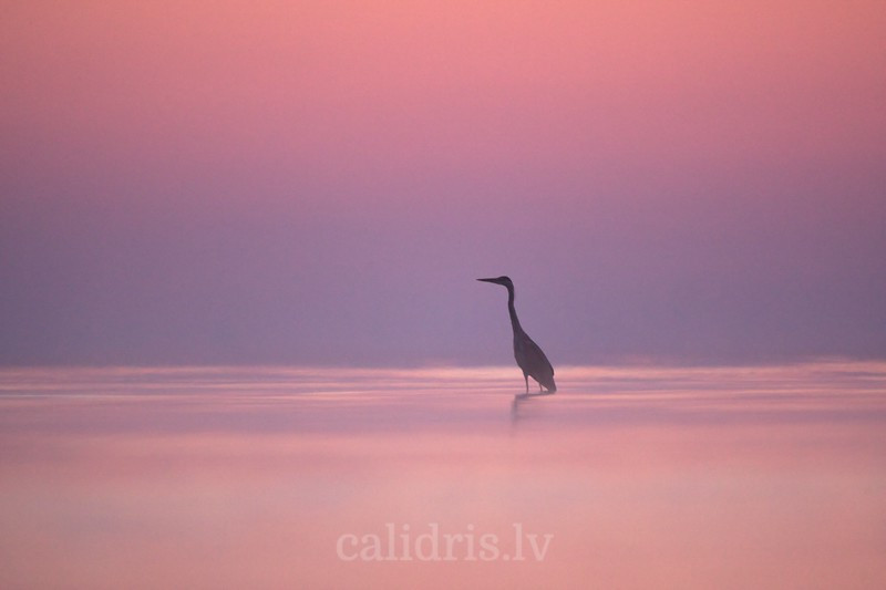 Grey Heron stands in water on misty sunrise