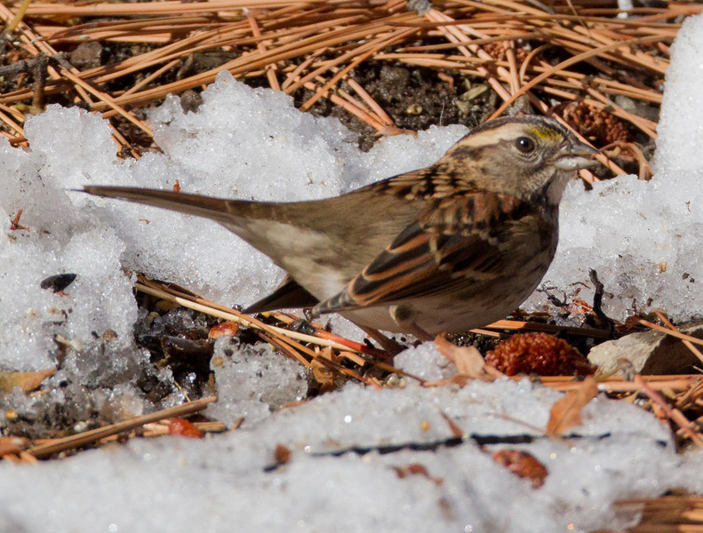 White-throated Sparrow  Mammoth Lakes 2012 10 27 (6 of 6).CR2