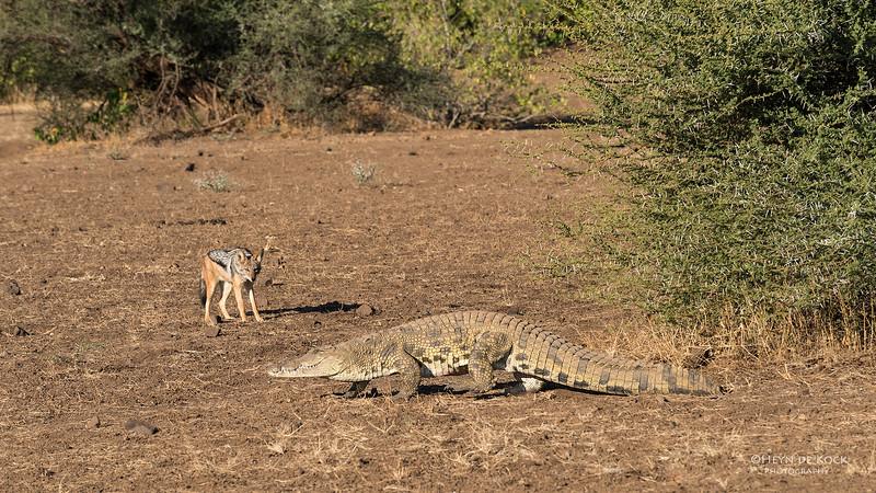 Black-backed Jackal & Nile Crocodile, Mashatu GR, Botwana, May 2017-4.jpg