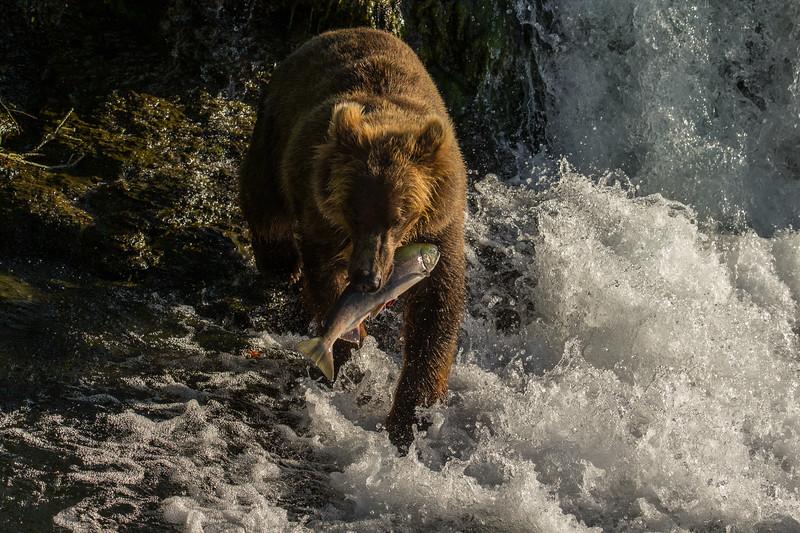 Katmai Bears-55.jpg