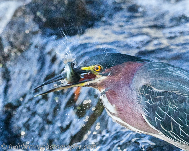 Green Heron 0815