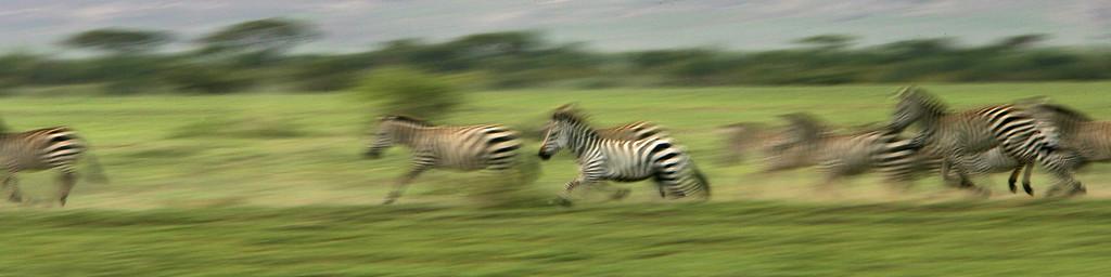 . A herd of Zebra run through the grasslands near Ngorongoro Crater Conservation area in Tanzania, Africa.