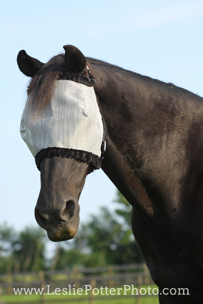 Horse Wearing a Fly Mask