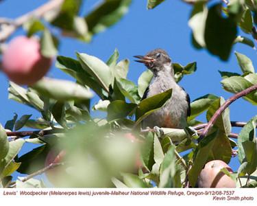 Lewis'WoodpeckerJ7537.jpg