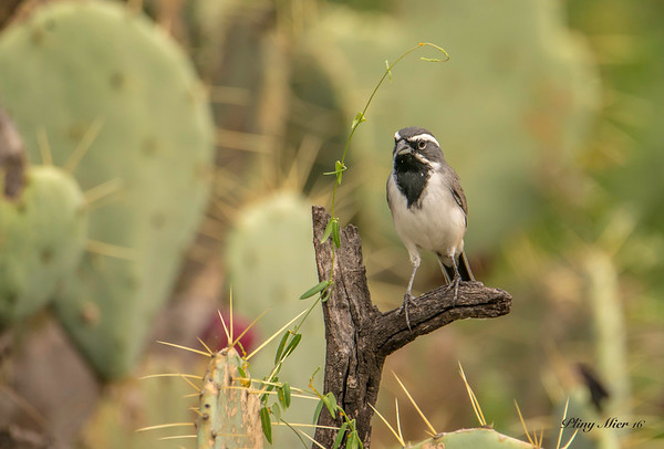 Black-throated Sparrow TR_DWL7299.jpg